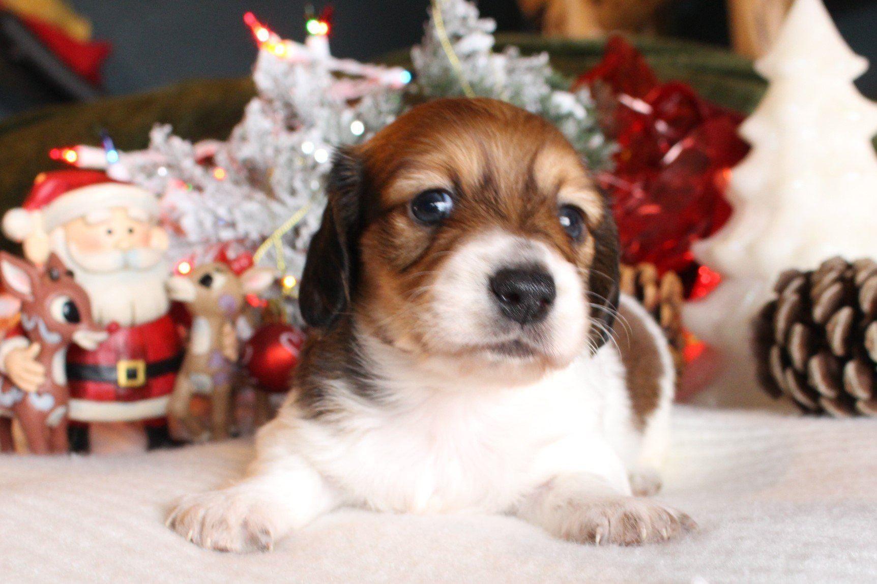 Gallery Dachshund puppies for sale, Dachshund puppies