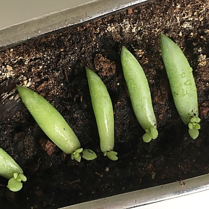 Propagate Succulents From Leaves Suculentas Cactus Y