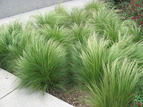 nassella tenuissima  stipa tenuissima  mexican feather grass  grassen langs muur bij het zwembad