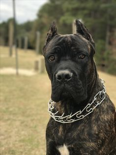 Pin By Robyn Bleicher On Cane Corso Pups In 2020 Cane Corso