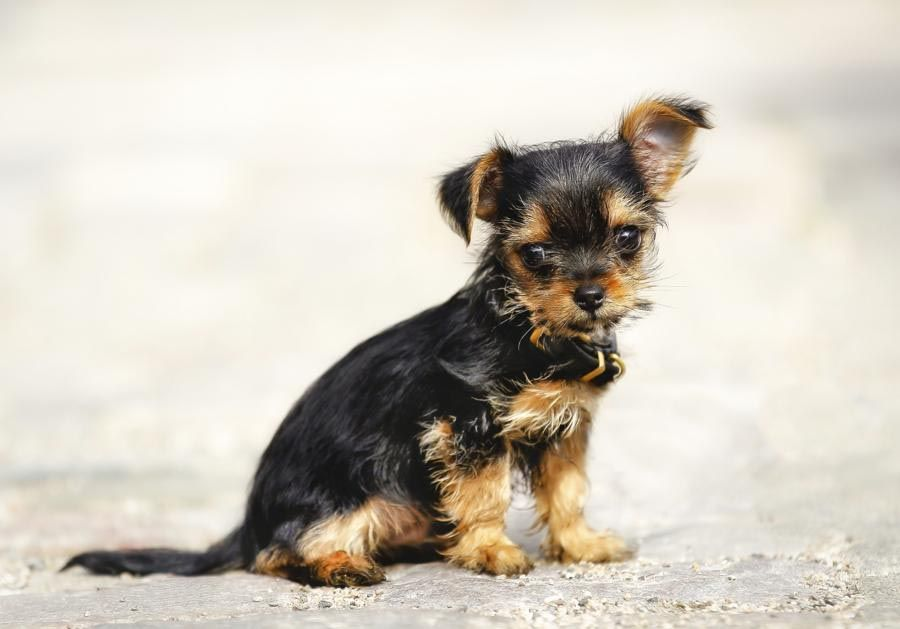 Chihuahua Yorkshire Terrier Mischling Dog Breed Information Yorkie Mix Yorkshire Terrier Yorkie Chihuahua Mix