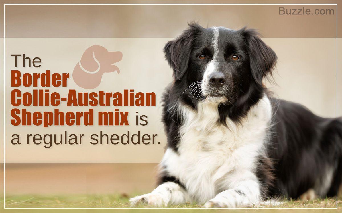 Characteristics Of The Australian Shepherd Border Collie Mix Australian Shepherd Australian Shepherd Mix Border Collie
