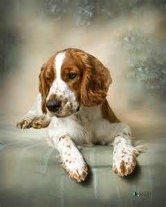 Welsh Springer Spaniel Rescue California Bing Images Welsh Springer Spaniel Springer Spaniel Spaniel