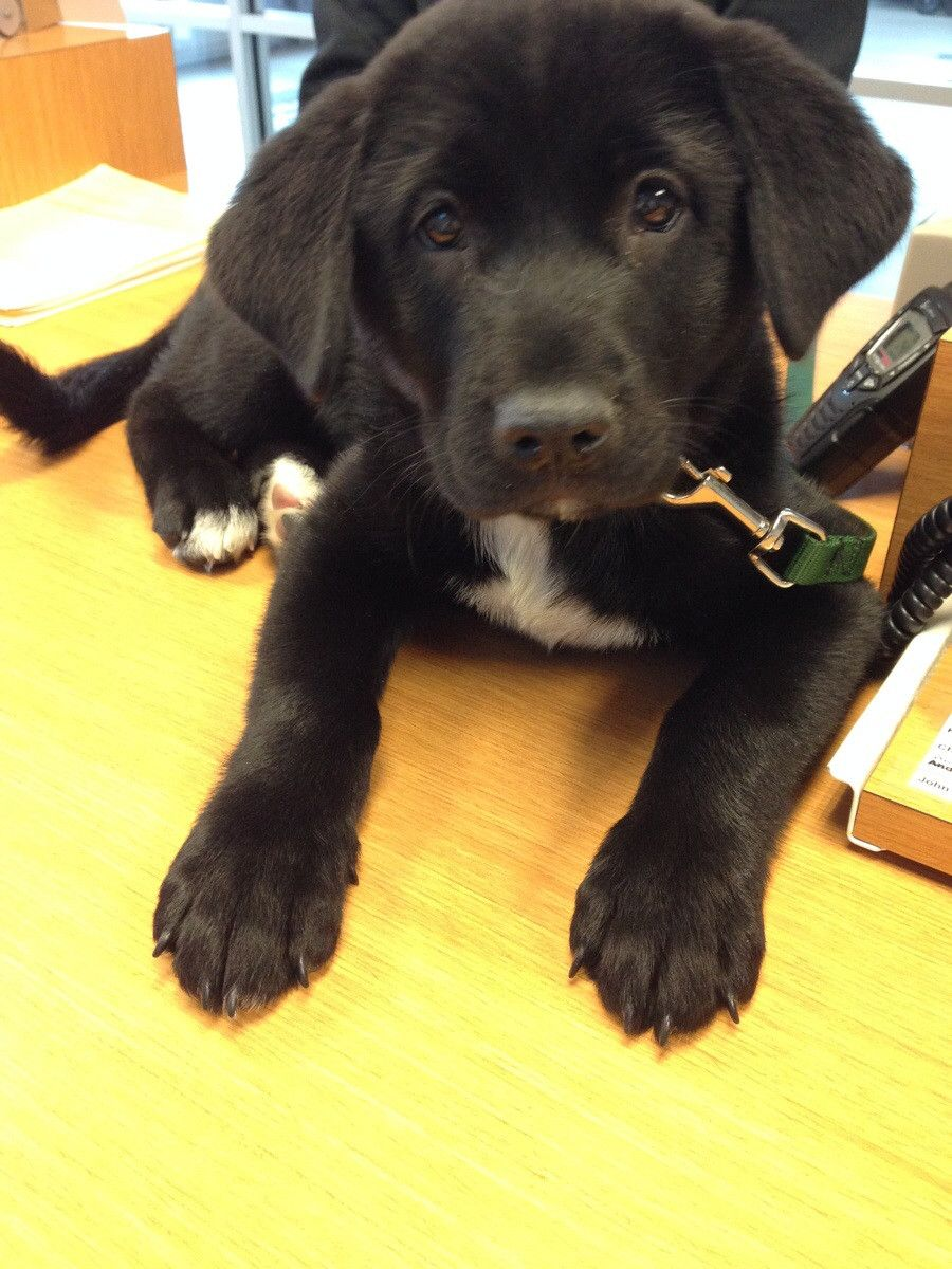 Akita Lab Puppy My Puppy Looks Exactly The Same Very Cute Dogs Puppy Images Dog Memes