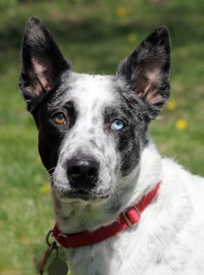 Adopt Chloe on Petfinder Australian cattle dog blue