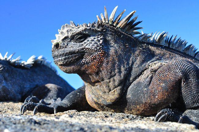Punta Pitt Marine Iguanas Of San Cristobal Island