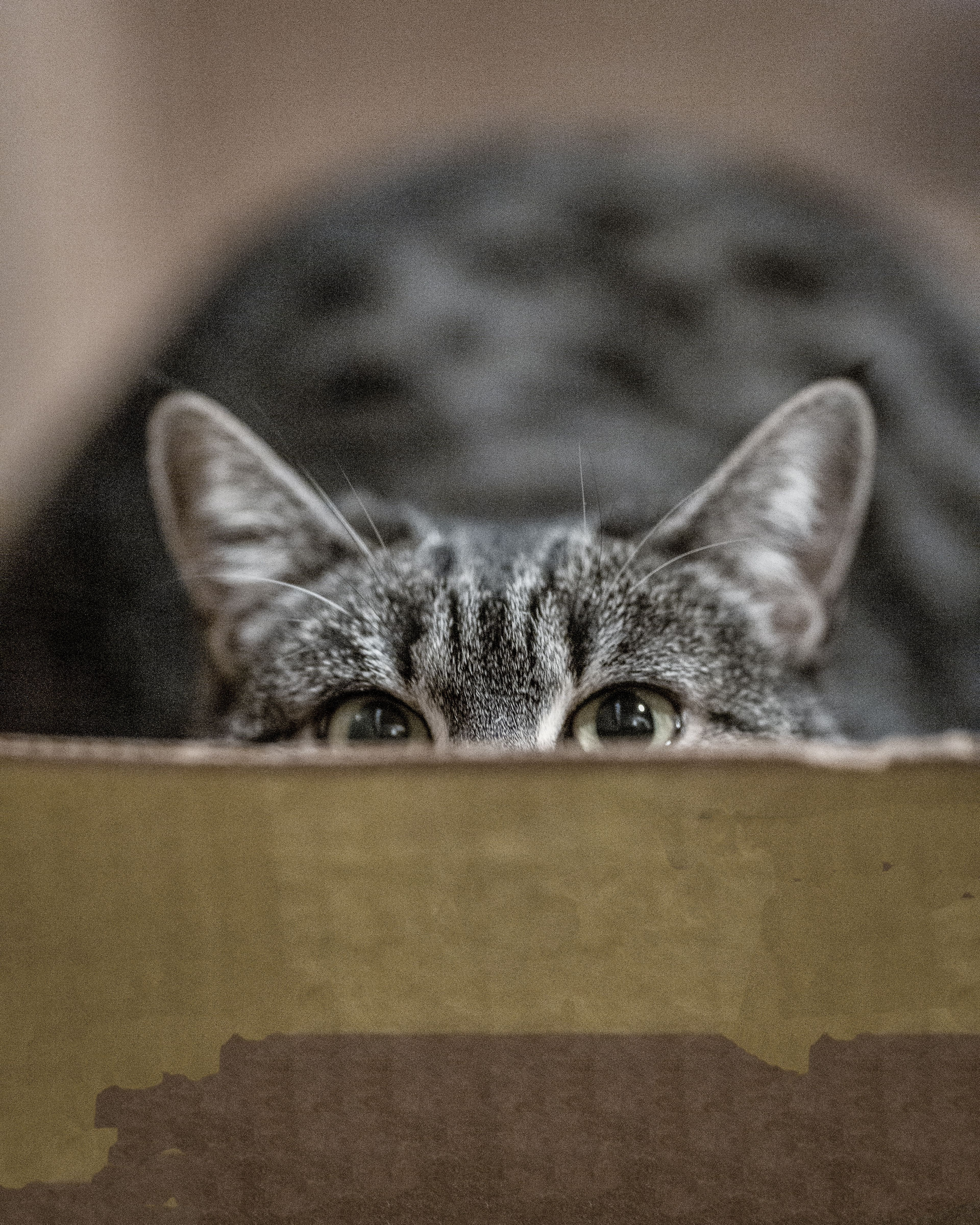 6 Magnificent Cat Images Silver Tabby Cat Hiding On Box Pet Cat Mammal In 2020 Best Cat Litter Cats Beautiful Cats