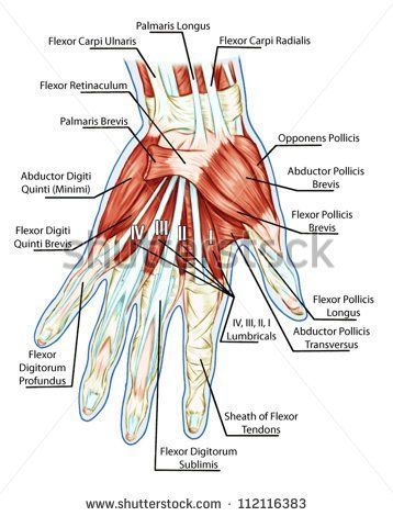 Anatomy of muscular system � hand, palm muscle - tendons ...