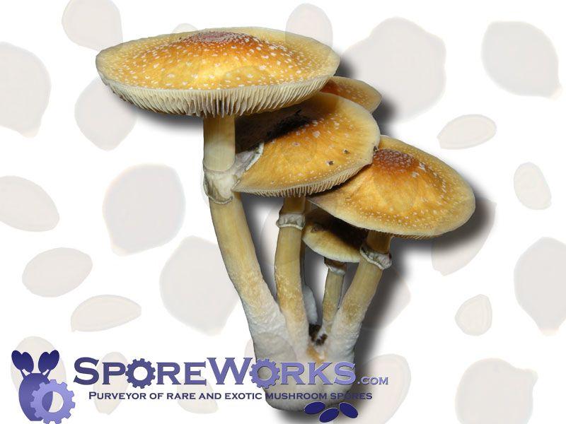 Psilocybe cubensis : Golden Teacher Spore Syringe Microscopy