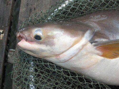 Bước đầu đánh giá đa dạng di truyền quần đàn cá Tra (Pangasianodon hypophthalmus) có nguồn gốc tự nhiên, từ các trại giống và từ chương trình chọn giống ở Việt Nam