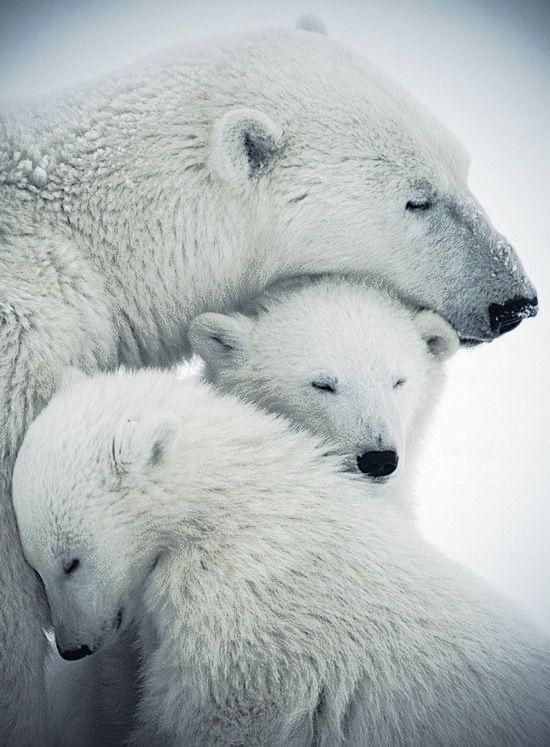 Polar bear family hug