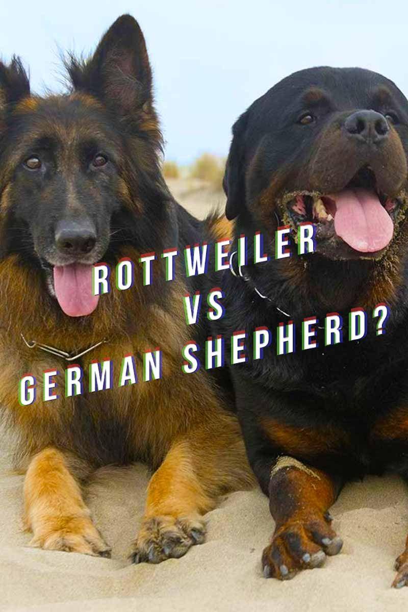 Rottweiler Vs German Shepherd Rottweiler Puppies Rottweiler Dog