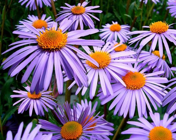 Pin On Aster