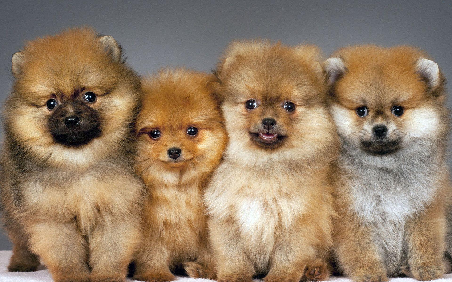 Pomeranian Wallpaper Pomeranian Puppy Puppies Pomeranian Dog