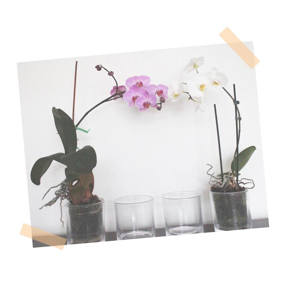 Did you know orchids prefer to be planted in clear pots the secret