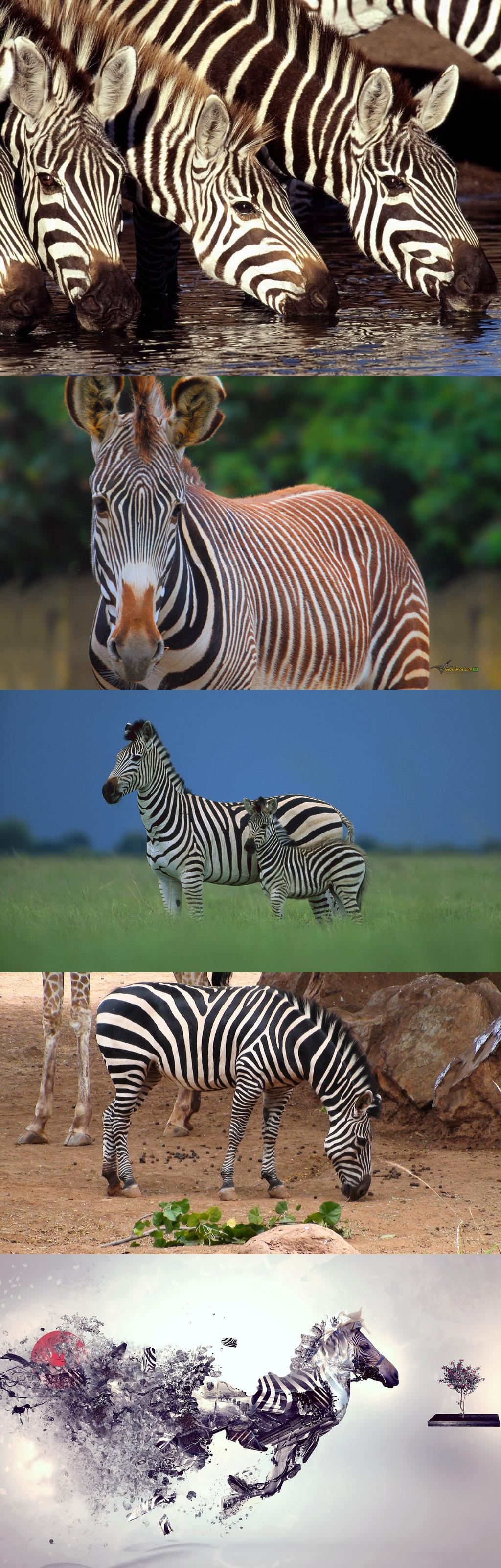 zebra, computer