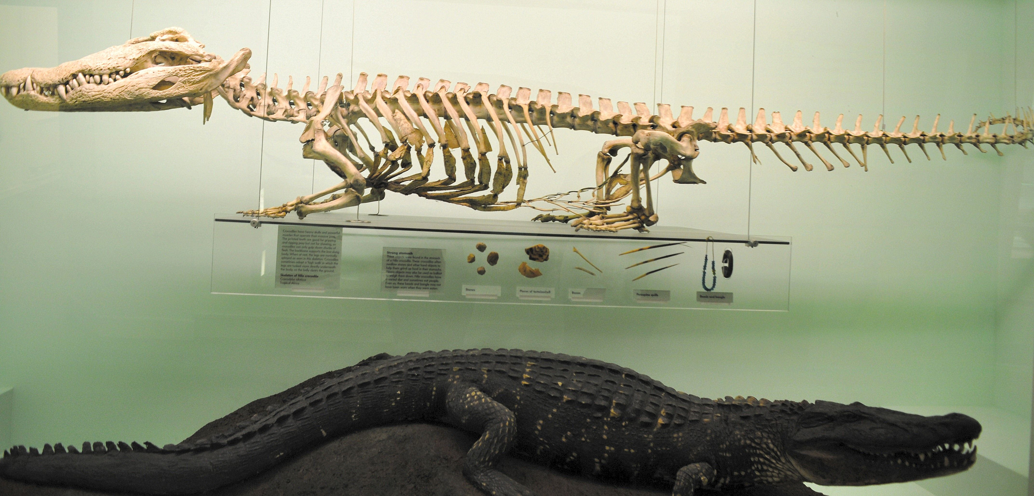 alligator skull muscle attachment - Google Search | Crocodylia ...