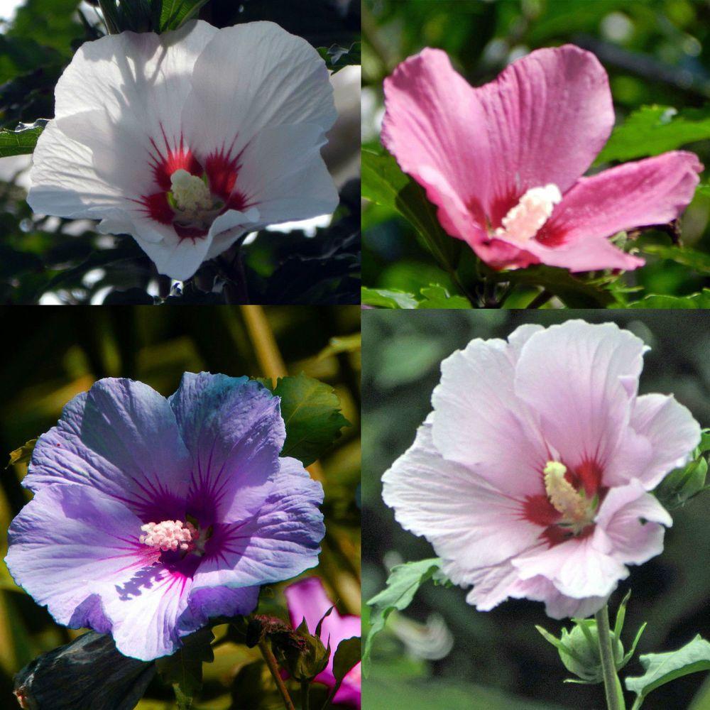 Rose Of Sharon Satin Mix Hibiscus Syriacus Hardy Perennial