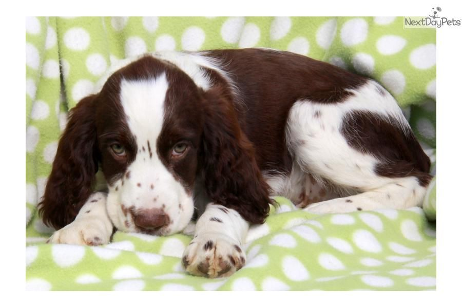 english springer spaniel males pictures | Meet Male a cute English Springer Spaniel puppy for sale for $575 ...