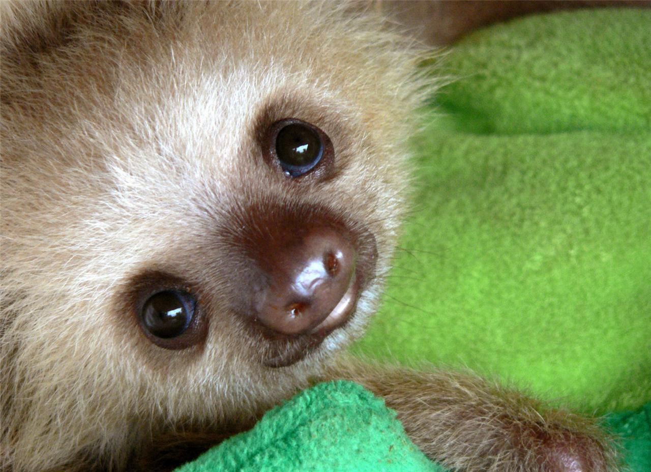 Details about CUTE BABY SLOTH GLOSSY POSTER PICTURE PHOTO