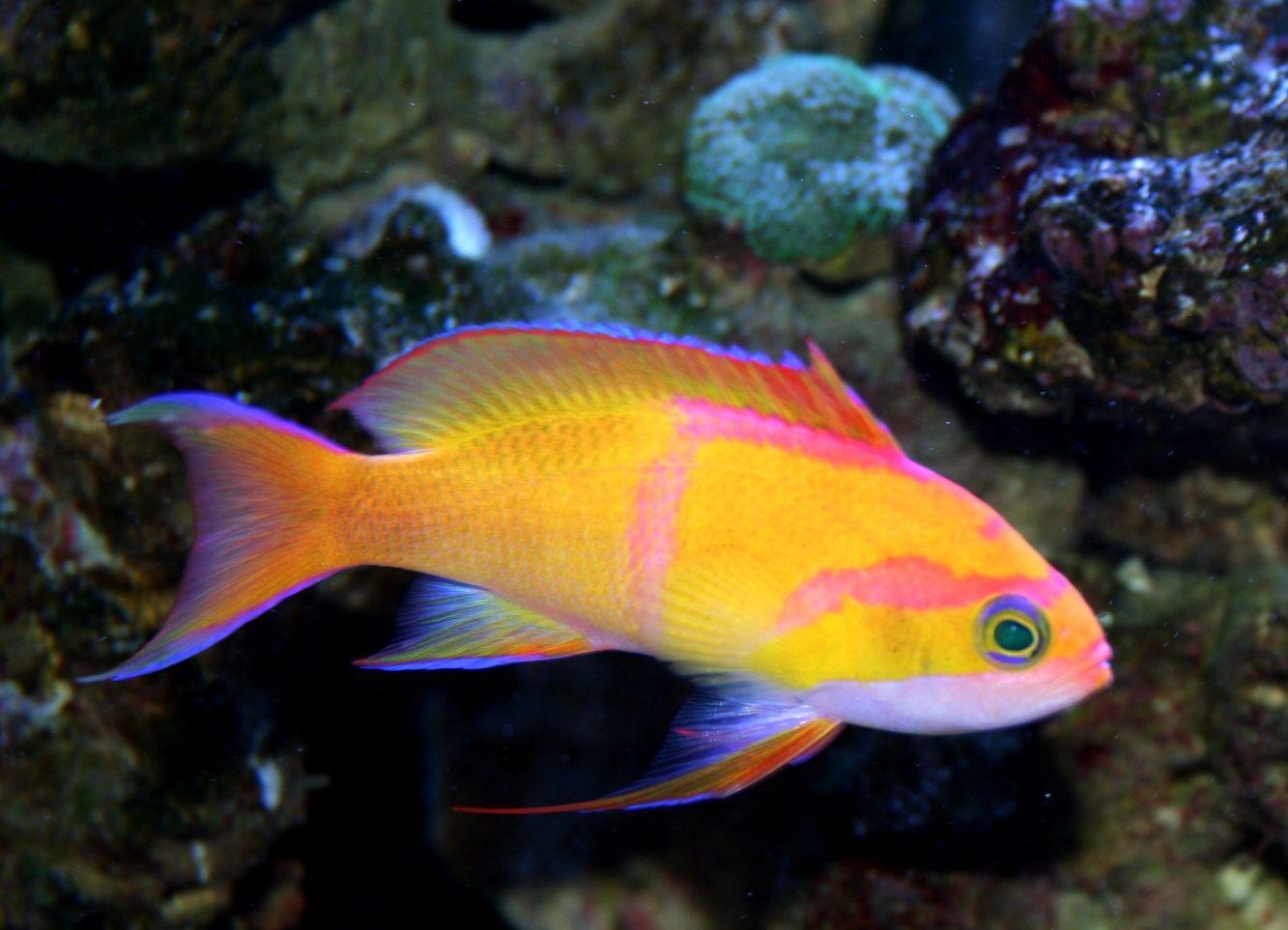 Rare Tropical Saltwater Fish The rare Anthias saltw...