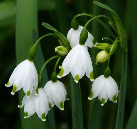 Plant Now Snowdrops And Snowflakes Fragrant Flowers Bulbous Plants Bulb Flowers