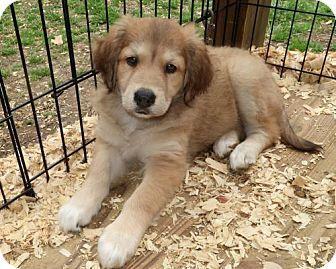 Saratoga Ny Australian Shepherd Labrador Retriever Mix Meet