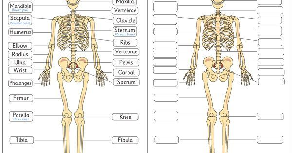 Human Skeleton Diagram Labelling Sheets  Science