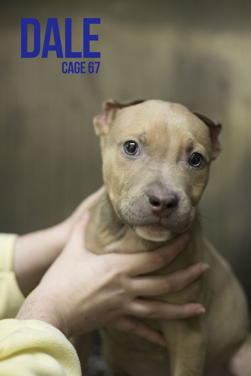 Adopt 67 Dale On Adoption Pet Adoption Pitbull Terrier