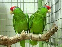 Green-Cheeked-Amazon