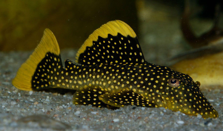 Golden Nugget Pleco Ii Tropical Fish Tropical Freshwater Fish Tropical Fish Aquarium