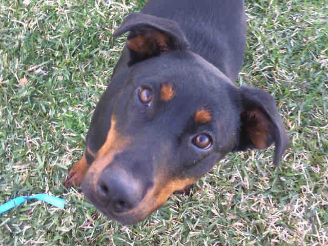 Doberman Pinscher Dog For Adoption In San Clemente Ca Adn 475347