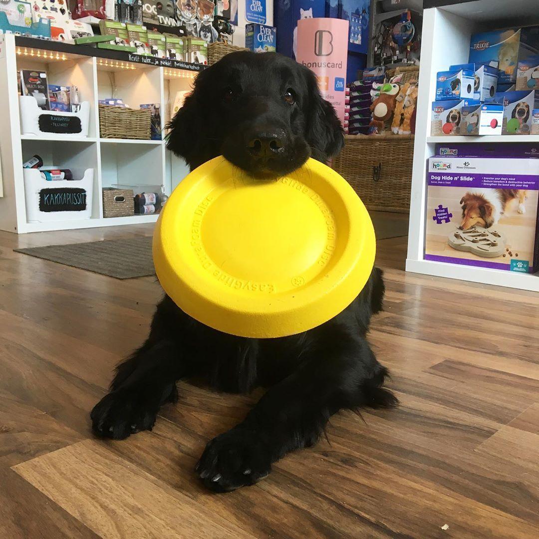 Pet Store Kotka On Instagram Robin Sai Kelluvan Frisbeen Vesileikkeihin Sileakarvainennoutaja Flatti Koira Lemmikki Elainkauppa Kotka P Dogs Hide