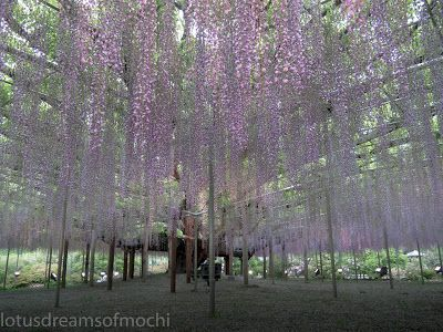 Counting sakura blossoms in the wind: The 150 Year Old Wisteria Tree, Japan's National T...