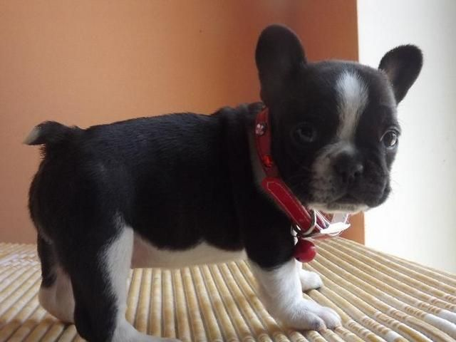 French Bulldog Puppy For Sale In Sterling Heights Mi Adn 46266