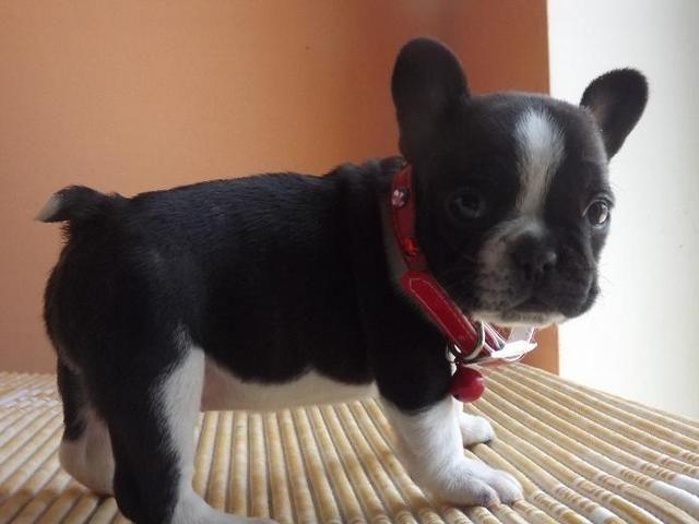 French Bulldog Puppies For Sale Michigan Zoe Fans Blog Bulldog