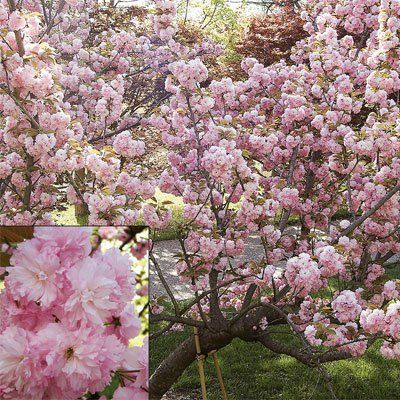 Pink Saturday Pink Trees Blossom Trees Pink Trees Backyard Getaway