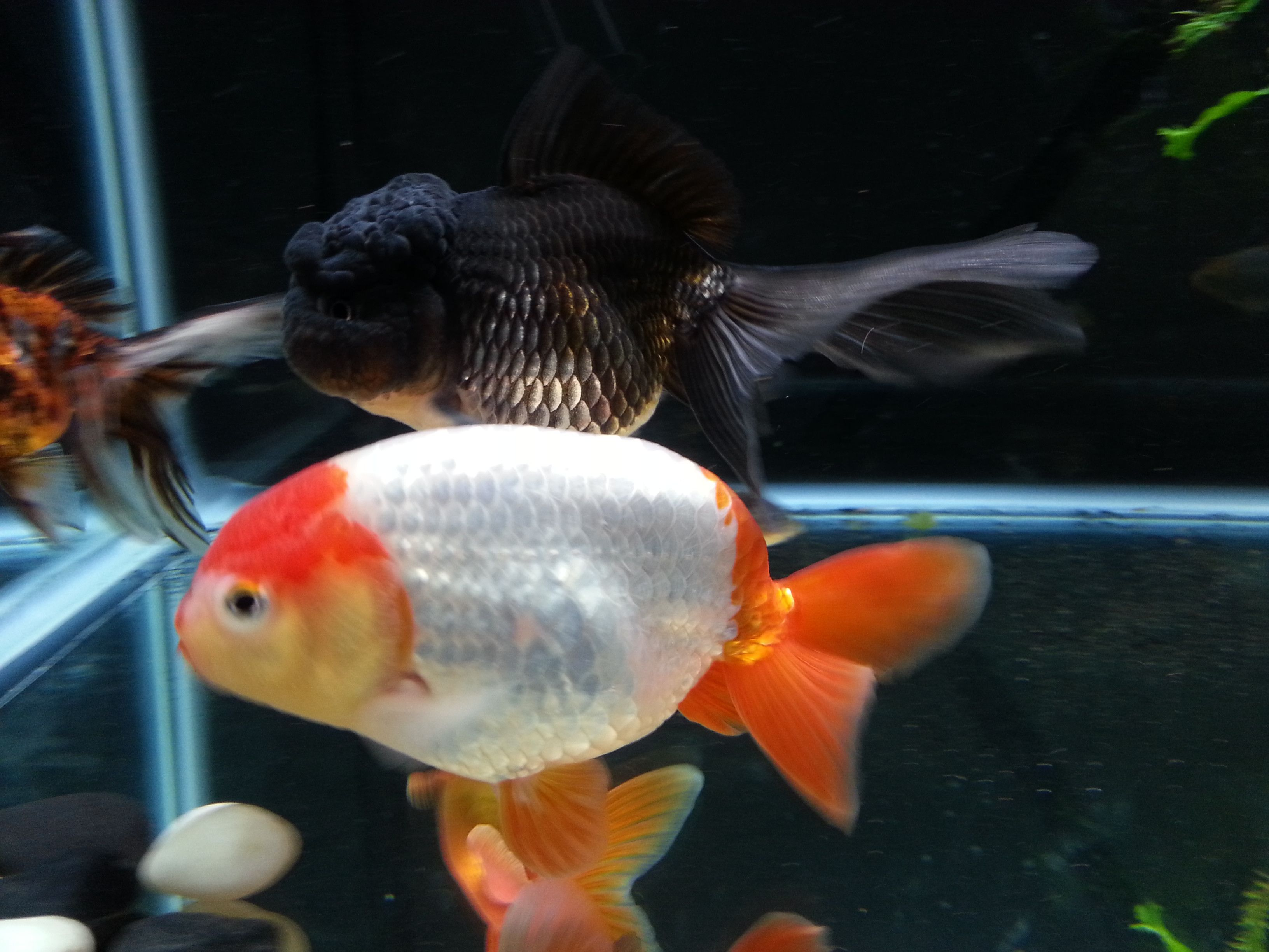 Goldfish!