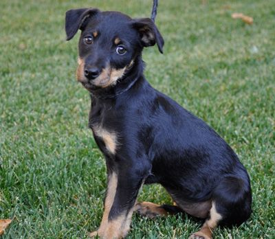 Rottweiler And Chihuahua Mix Chihuahua Mix Rottweiler Hybrid Dogs
