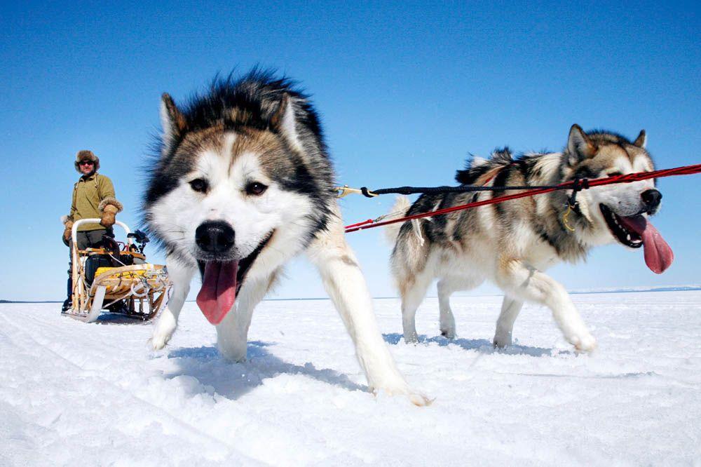 Alaskan Malamute Breed Profile Australian Dog Lover Regarded