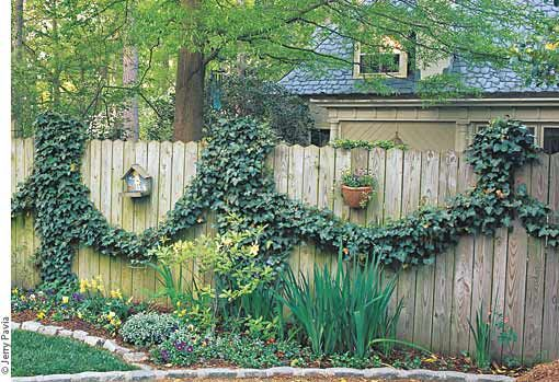 Fast Growing Vines For Fences Click To See A Larger Image