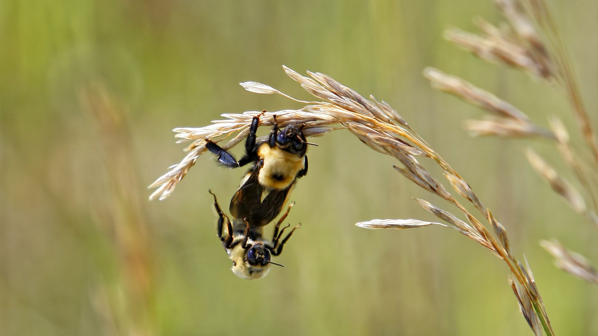 The Queen Bee Honey Bee Mating