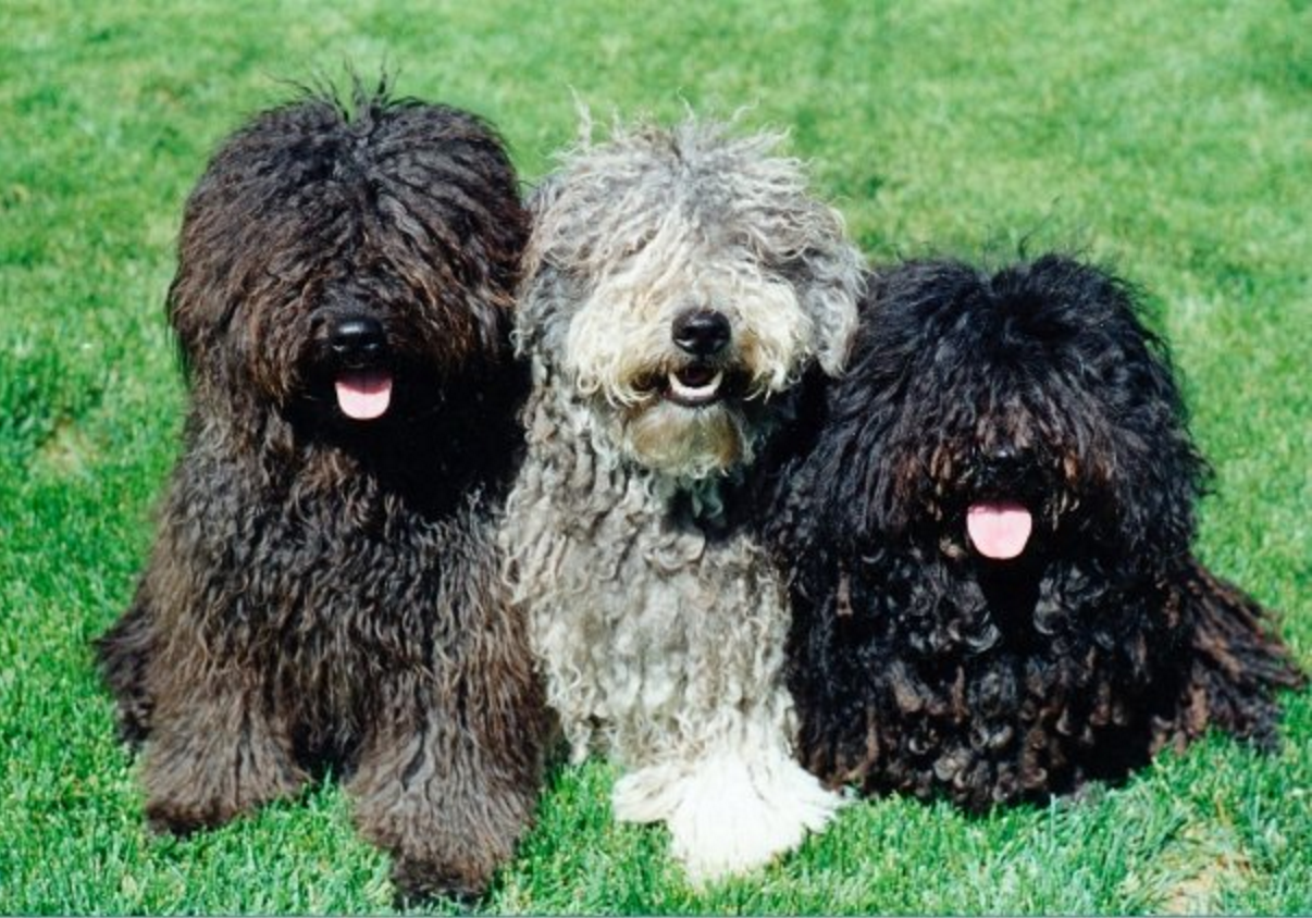 16 Things Only A Puli Owner Would Understand Puli Pinterest
