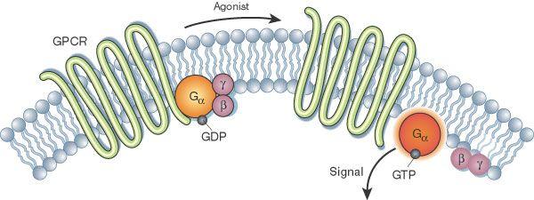 Image result for GPCR