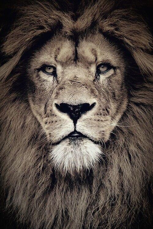 Epingle Par M Sur Roar Tatouage Tete De Lion Tete De Lion Dessin Photos De Lion