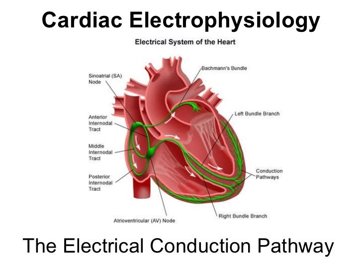 Electrical conduction pathway heart table free download wiring basic electrical conduction pathway of the heart google search basic electrical conduction pathway of the heart google search at heart electrical system ccuart Choice Image