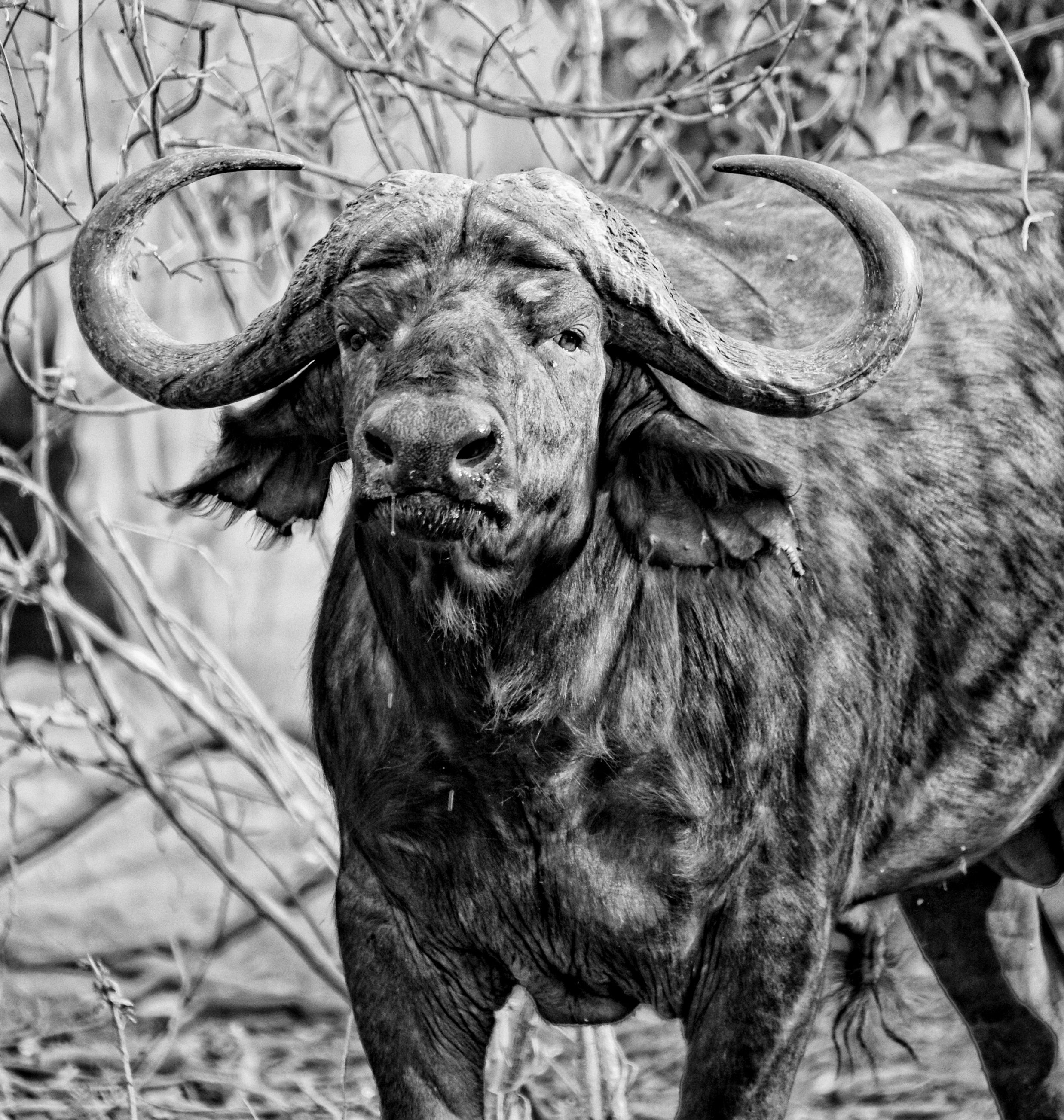 Buffalo in black and white by African Bush Camps. Africa