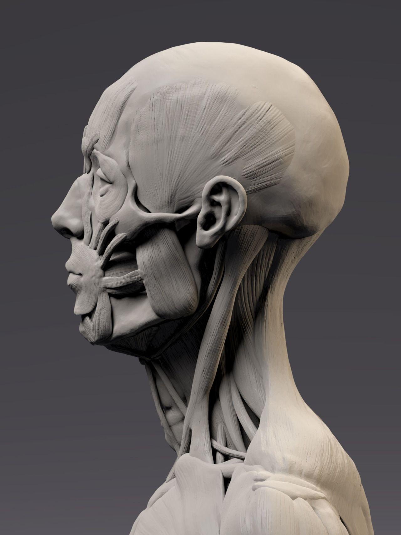 Figure Drawing & Anatomy   Anatomy sculpture, Human figure ...