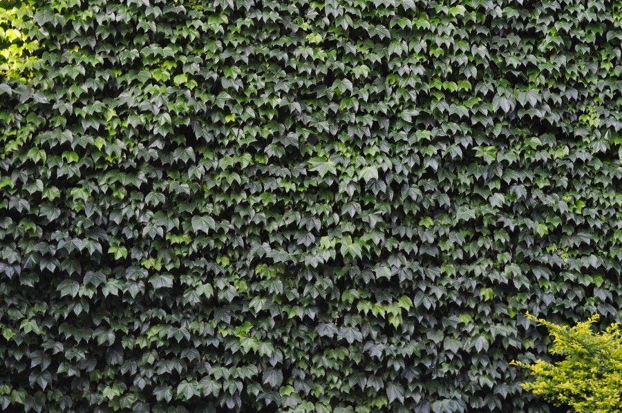 Enredadera Fondo Background Verde Planta Vista De Frente Naturaleza Pared Arquitectura Nadie Enredaderas Plantas Enredaderas Fondos De Pantalla Hd