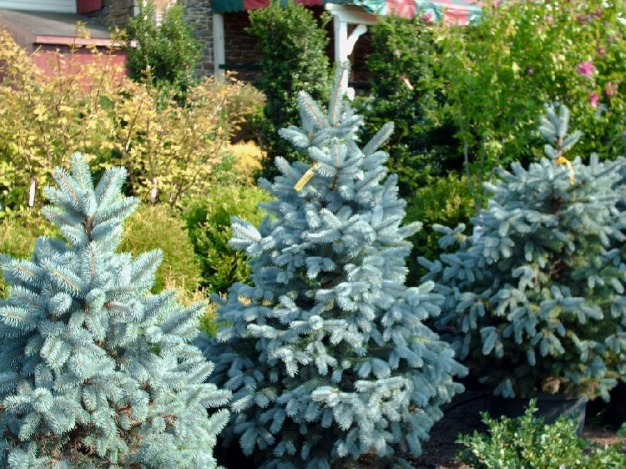 Baby Blue Eyes Spruce Beautiful dwarf conifer another